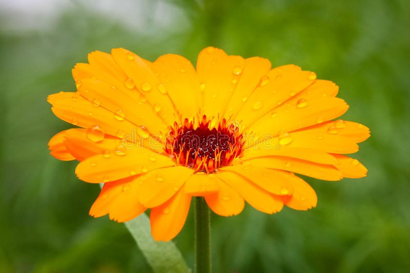 δροσιά σε ένα λουλούδι στοκ εικόνες