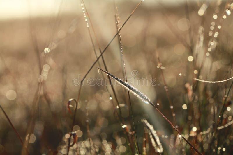 Δροσιά στις ξηρές λεπίδες της χλόης στοκ εικόνα