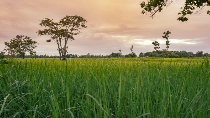 Δροσιά στον τομέα ρυζιού φύλλων και τον ουρανό πρωινού στοκ φωτογραφία