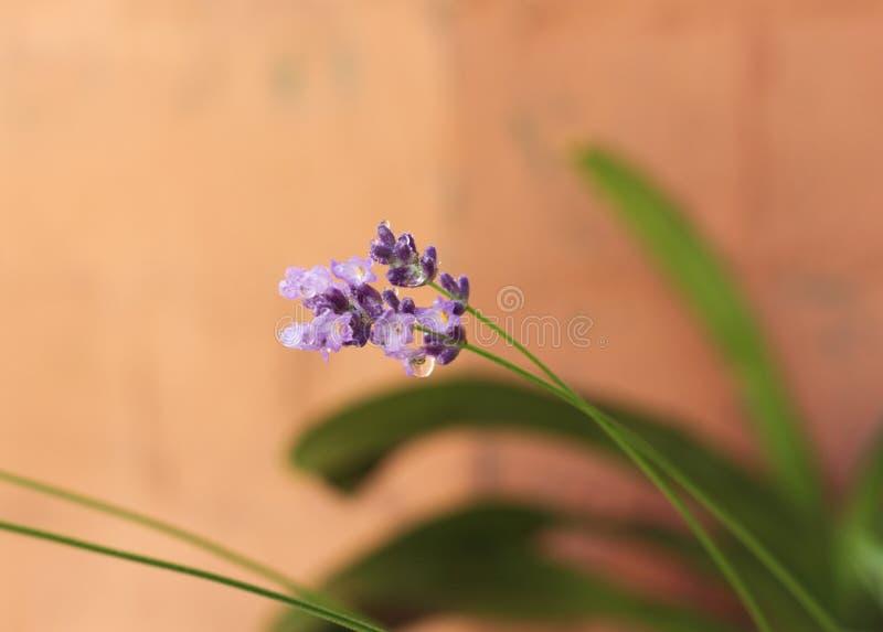 Δροσιά lavender στοκ φωτογραφίες