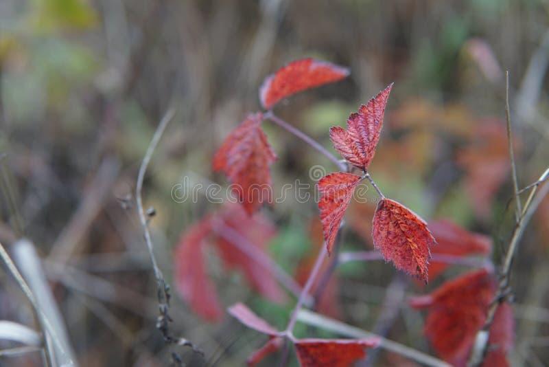 Δροσοσκέπαστες κόκκινες πτώσεις νερού κινηματογραφήσεων σε πρώτο πλάνο φύλλων που καταβρέχουν στα λουλούδια στοκ εικόνες