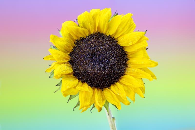 Δροσοσκέπαστος κίτρινος ηλίανθος με το υπόβαθρο ουράνιων τόξων κρητιδογραφιών στοκ φωτογραφία με δικαίωμα ελεύθερης χρήσης