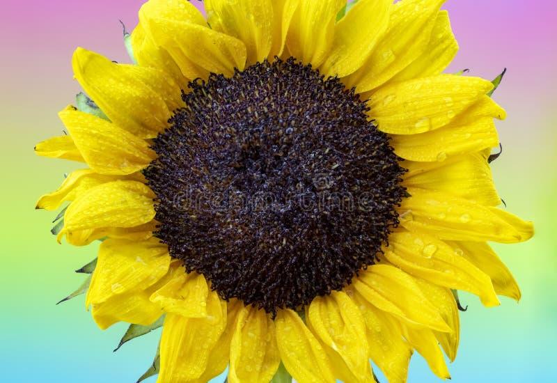 Δροσοσκέπαστος κίτρινος ηλίανθος με το υπόβαθρο ουράνιων τόξων κρητιδογραφιών στοκ εικόνες με δικαίωμα ελεύθερης χρήσης