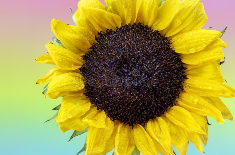 Δροσοσκέπαστος κίτρινος ηλίανθος με το υπόβαθρο ουράνιων τόξων κρητιδογραφιών στοκ εικόνα