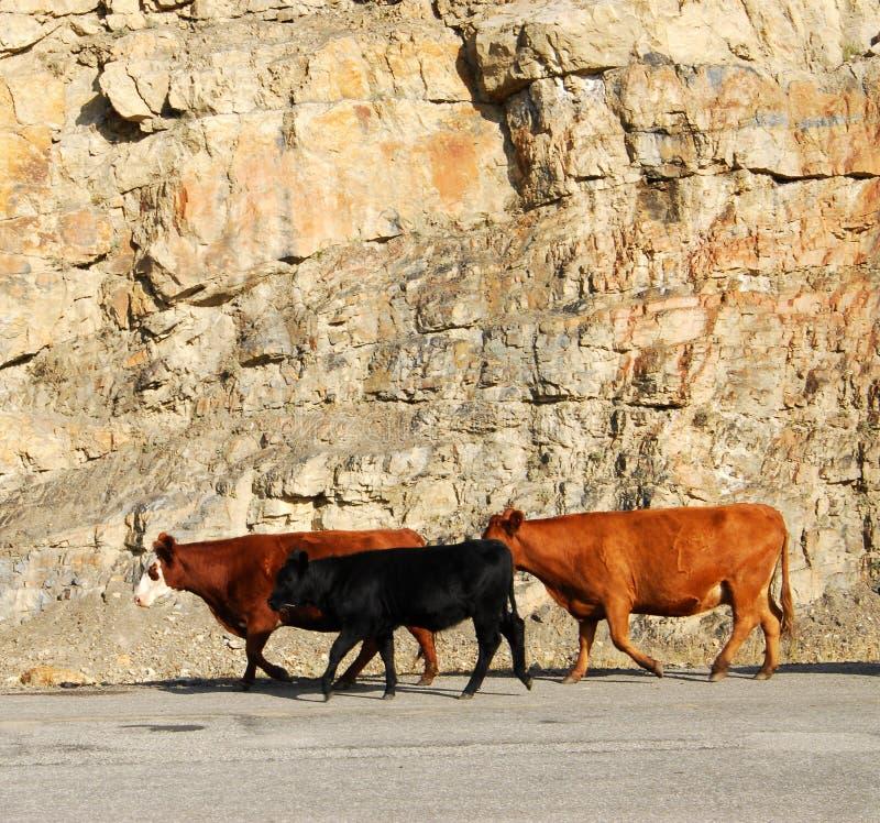 δρόμος αγελάδων στοκ φωτογραφία