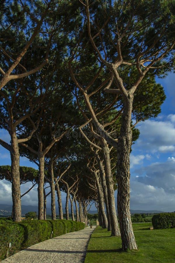 Δρόμος πεύκων Δρόμοι μεταξύ των δέντρων στοκ φωτογραφία με δικαίωμα ελεύθερης χρήσης