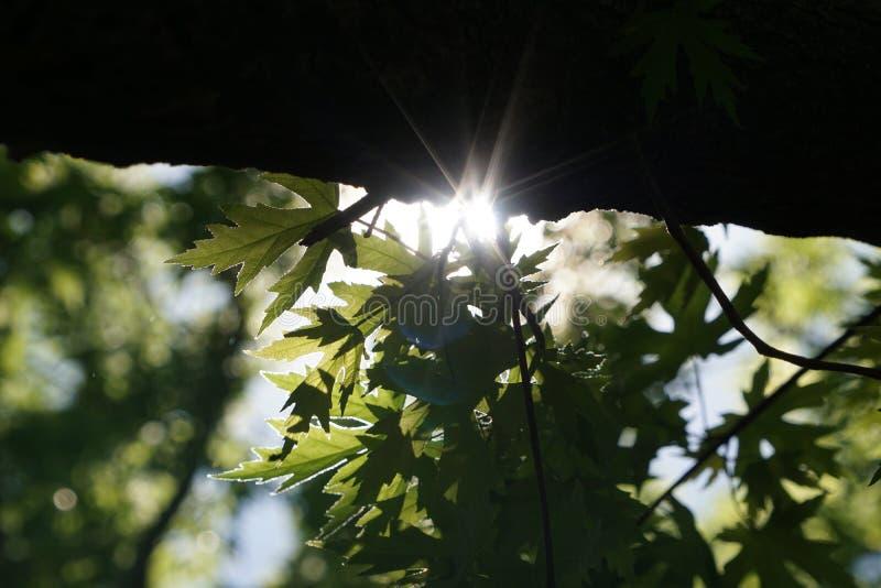 Δρύινα φύλλα με την ηλιοφάνεια πίσω από τους που παρουσιάζουν έντονο φως ήλιων στοκ εικόνα με δικαίωμα ελεύθερης χρήσης