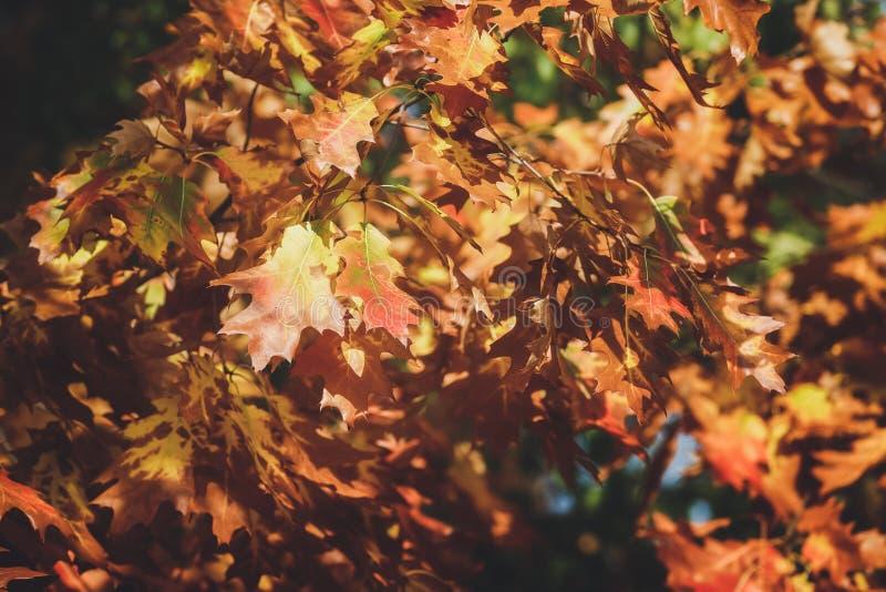 Δρύινα φύλλα στους κλάδους στο δάσος φθινοπώρου στοκ εικόνες