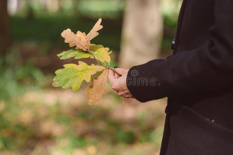 Δρύινα φύλλα φθινοπώρου σε έναν κλάδο στα θηλυκά χέρια στοκ εικόνες