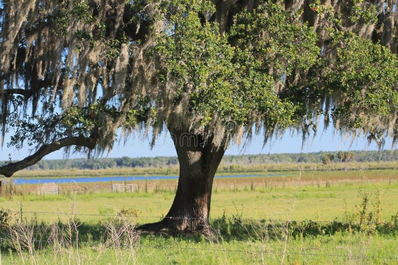 Δρύινη ομορφιά δέντρων στοκ φωτογραφίες με δικαίωμα ελεύθερης χρήσης