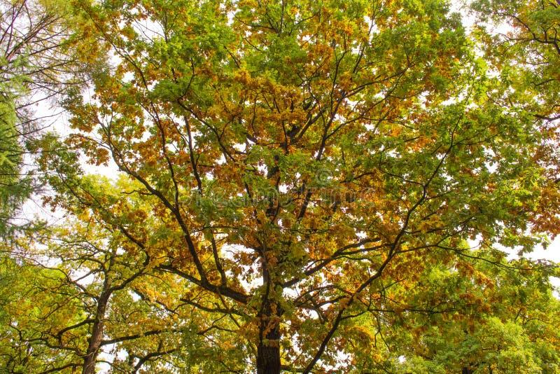 Δρύινοι κλάδοι και φύλλα το φθινόπωρο Κίτρινα και πράσινα χρώματα στοκ φωτογραφία με δικαίωμα ελεύθερης χρήσης