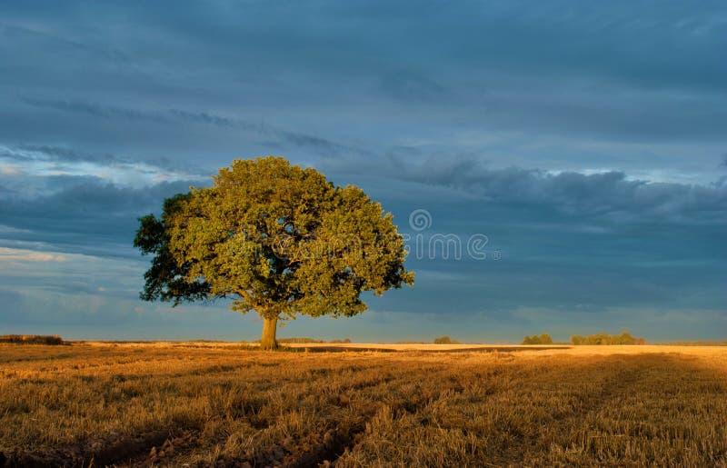 Δρύινος-δέντρο στοκ φωτογραφίες με δικαίωμα ελεύθερης χρήσης