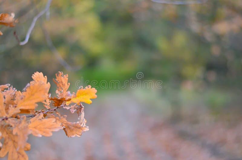 Δρύινος κλάδος με τα κίτρινα φύλλα στη χαμηλότερη αριστερή γωνία στα πλαίσια του κιτρινοπράσινου δάσους στοκ εικόνες