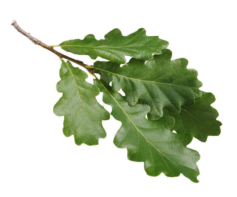 Δρύινος κλάδος με τα πράσινα φύλλα, που απομονώνονται στο άσπρο υπόβαθρο στοκ εικόνα