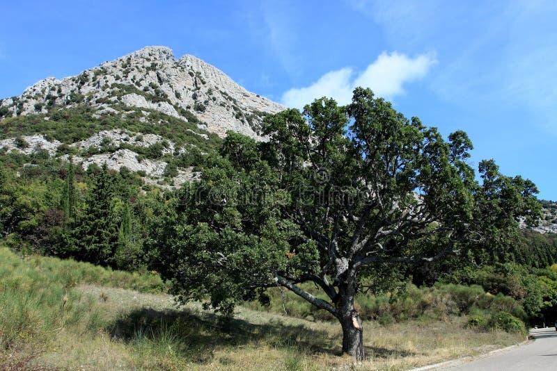 Δρύινο δέντρο στο εθνικό πάρκο Pollino στην Καλαβρία Ιταλία στοκ φωτογραφία με δικαίωμα ελεύθερης χρήσης