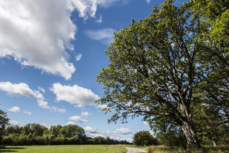 Δρύινο δέντρο στο λιβάδι στοκ φωτογραφία με δικαίωμα ελεύθερης χρήσης
