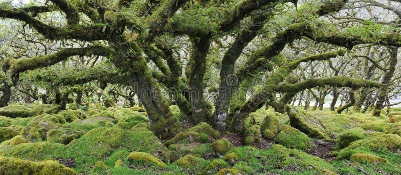 Δρύινο δέντρο στο ξύλο Wistman στοκ φωτογραφία με δικαίωμα ελεύθερης χρήσης