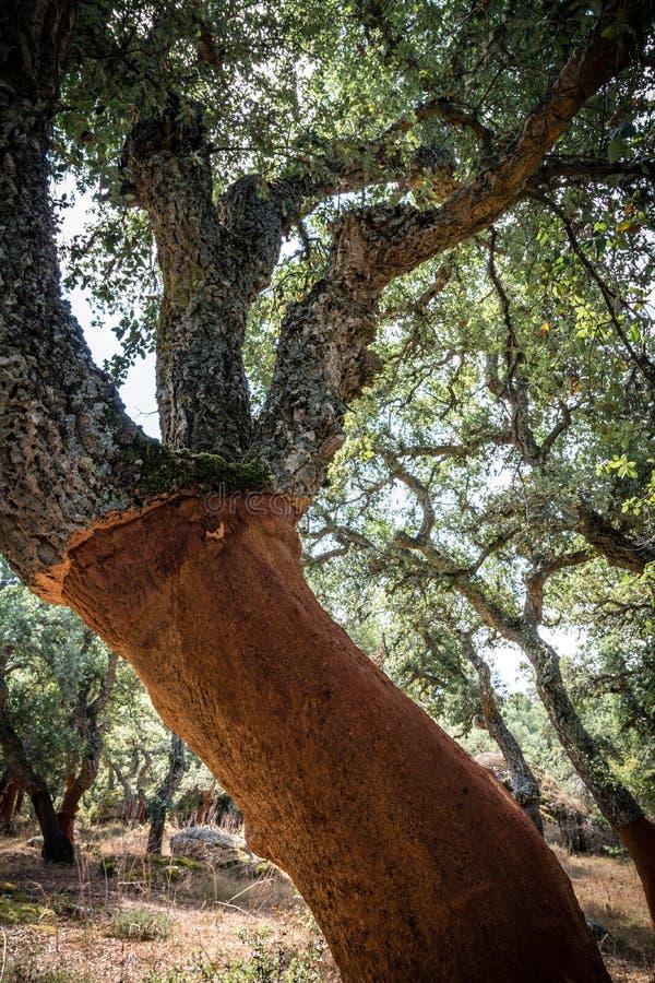 Δρύινο δέντρο φελλού στη Σαρδηνία στοκ εικόνες