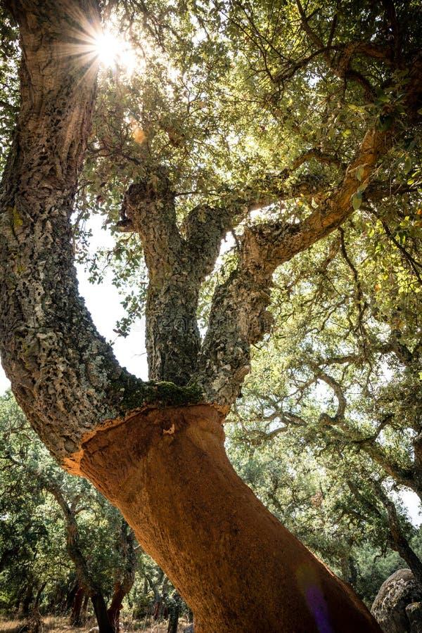 Δρύινο δέντρο φελλού στη Σαρδηνία στοκ φωτογραφία με δικαίωμα ελεύθερης χρήσης