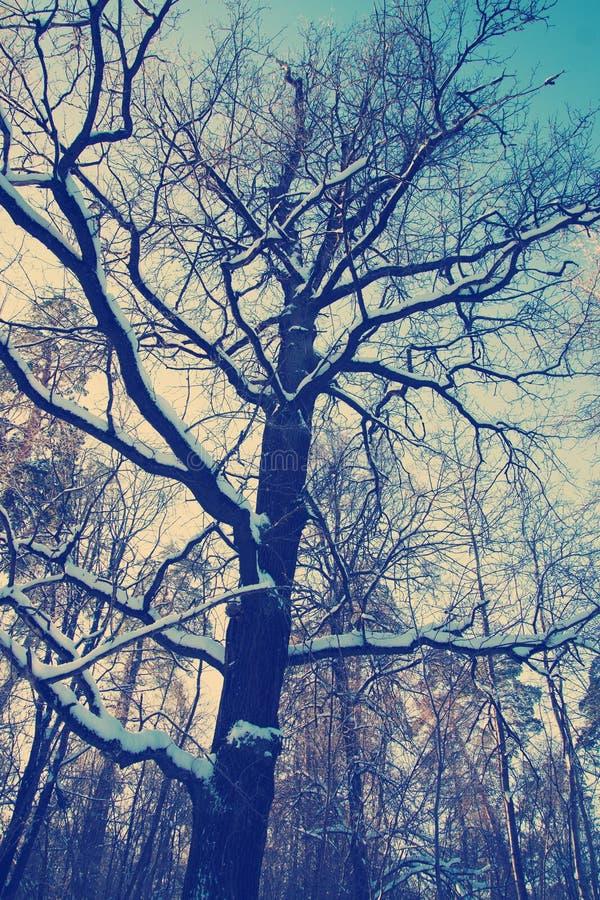 Δρύινο δέντρο χειμερινού χιονιού σε ένα υπόβαθρο μπλε ουρανού στοκ εικόνες με δικαίωμα ελεύθερης χρήσης