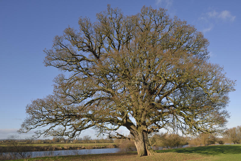 Δρύινο δέντρο Pedunculate στοκ εικόνα