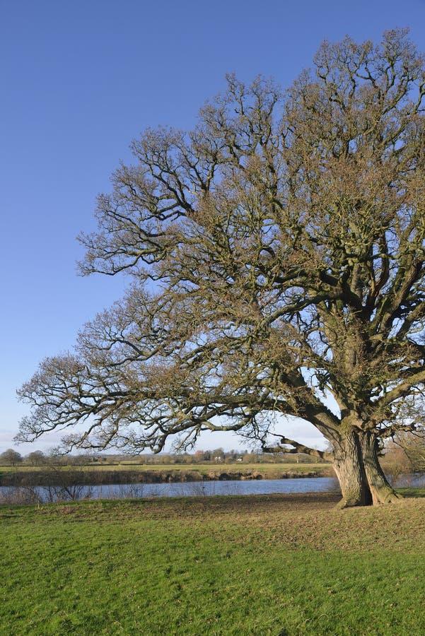 Δρύινο δέντρο Pedunculate στοκ φωτογραφία