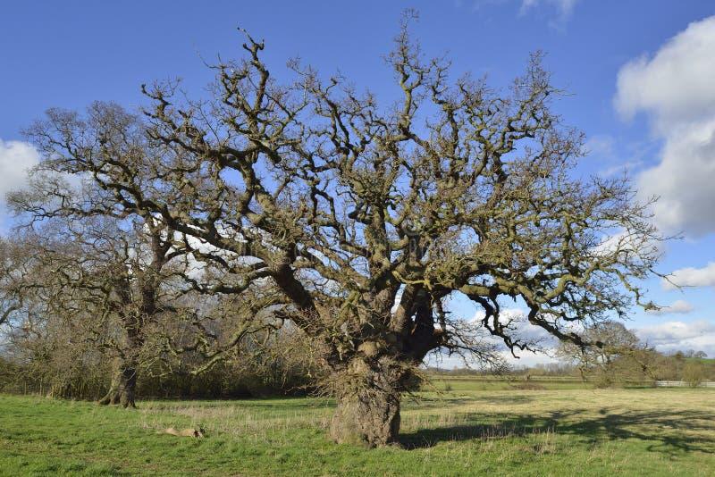 Δρύινο δέντρο Pedunculate στοκ φωτογραφία με δικαίωμα ελεύθερης χρήσης