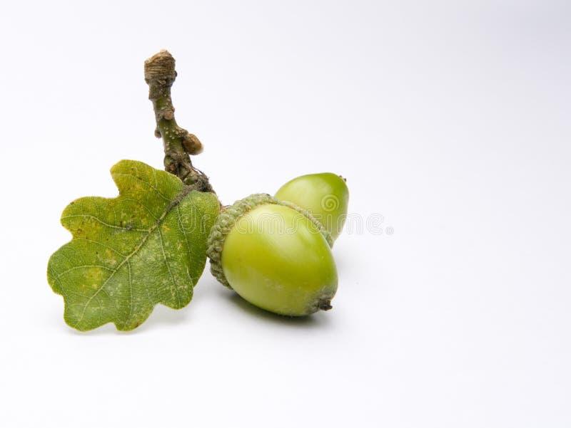 δρύινο δέντρο βελανιδιών στοκ φωτογραφία με δικαίωμα ελεύθερης χρήσης