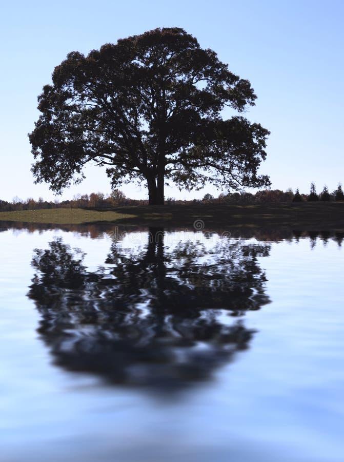 δρύινο δέντρο πτώσης στοκ εικόνες με δικαίωμα ελεύθερης χρήσης