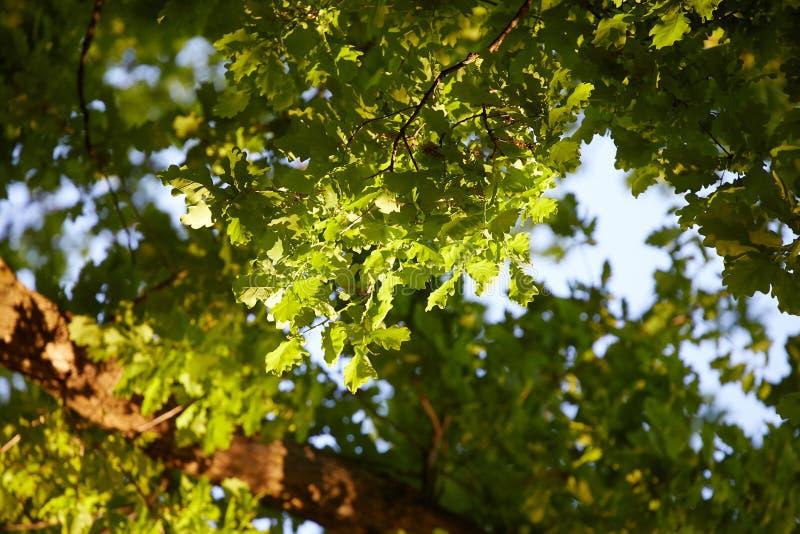 Δρύινο δέντρο στην άνοιξη, που βλέπει από κάτω από στοκ φωτογραφίες