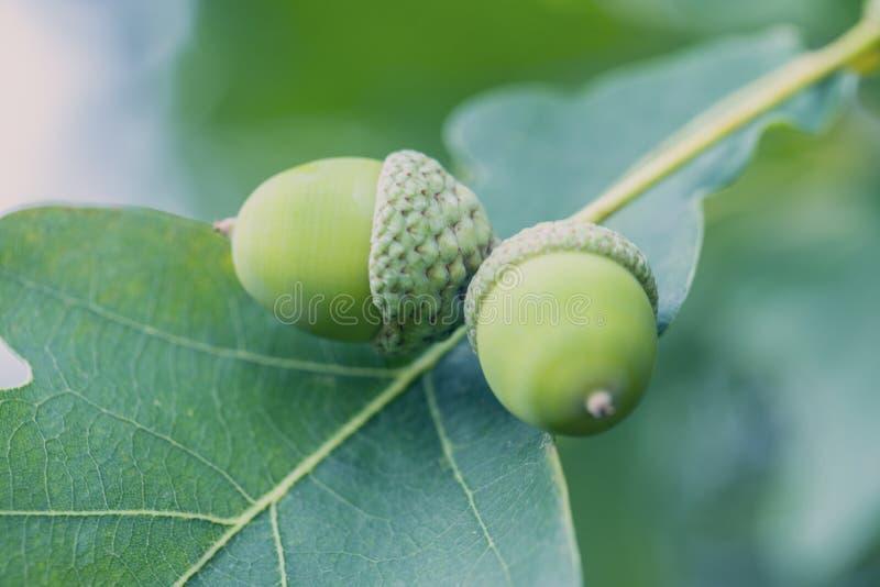 Δρύινο δέντρο το καλοκαίρι στοκ εικόνες με δικαίωμα ελεύθερης χρήσης