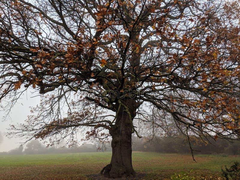 Δρύινο δέντρο φθινοπώρου με τα κόκκινα φύλλα στοκ φωτογραφίες με δικαίωμα ελεύθερης χρήσης