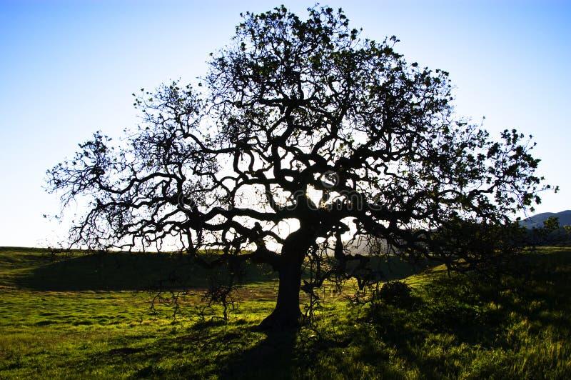 Δρύινο δέντρο Δωρεάν Στοκ Φωτογραφία