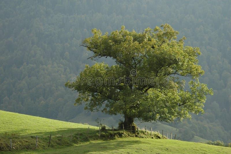 δρύινο δέντρο