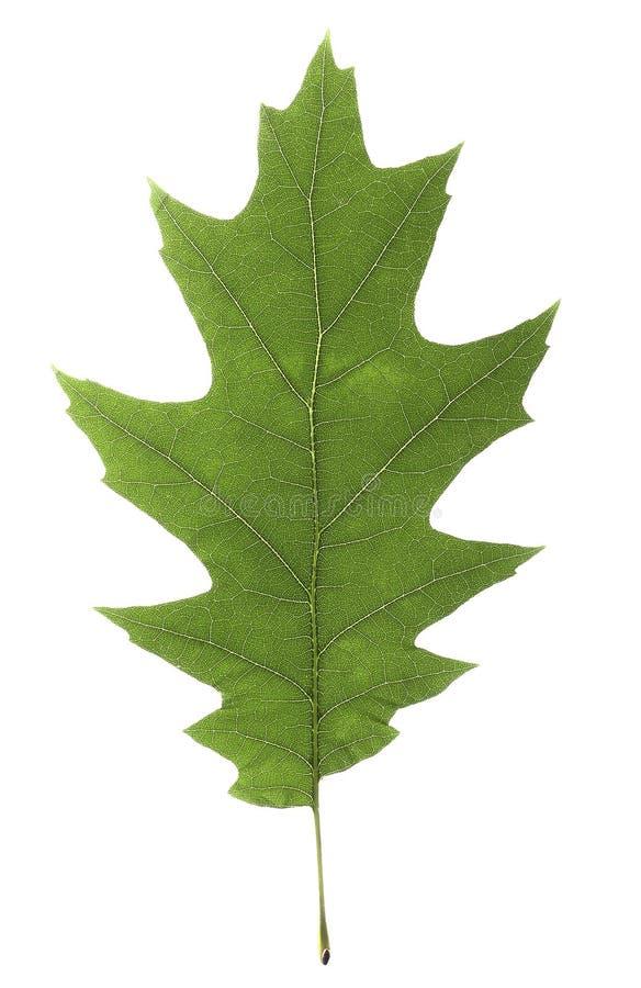 Δρύινο πράσινο φύλλο με τις φωτεινές φλέβες σε ένα άσπρο υπόβαθρο στοκ φωτογραφία με δικαίωμα ελεύθερης χρήσης