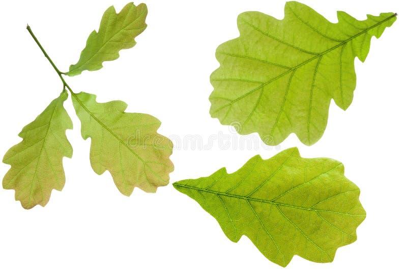Δρύινο φύλλο που απομονώνεται στο άσπρο υπόβαθρο Σύνολο πράσινου φρέσκου δρύινου δέντρου φύλλων σε έναν κλάδο και ενιαίος στοκ εικόνες με δικαίωμα ελεύθερης χρήσης