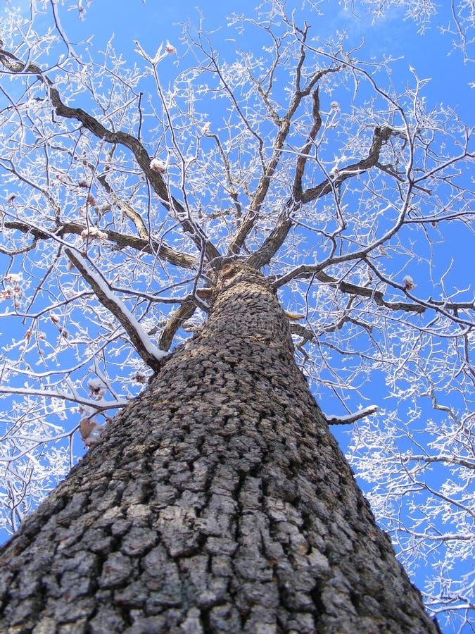 δρύινο χιονώδες ψηλό δέντρ&omic στοκ φωτογραφία