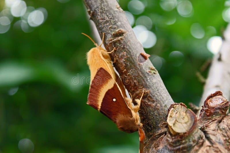 Δρύινο eggar quercus Lasiocampa ζευγάρωμα στοκ εικόνες