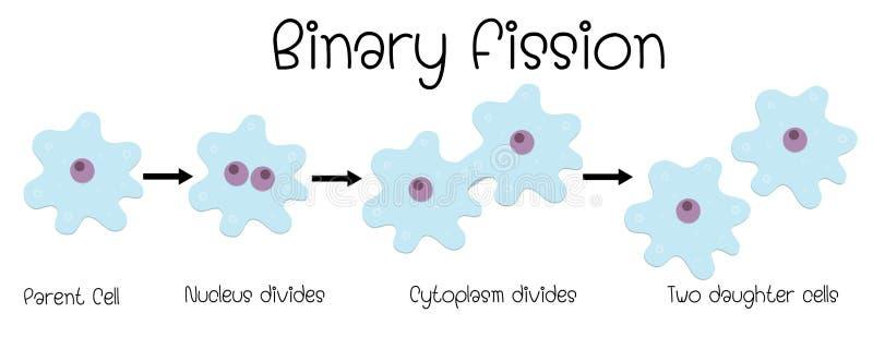 Δυαδική διάσπαση amoeba απεικόνιση αποθεμάτων