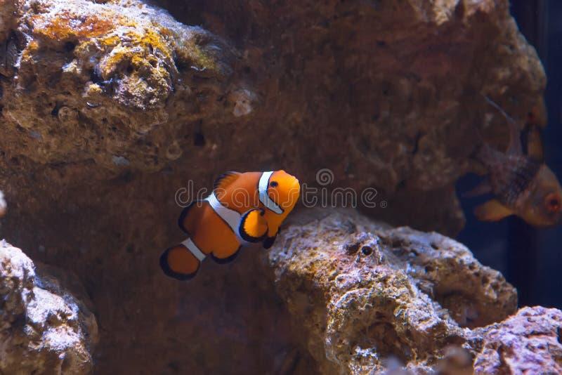 Δυτικά ψάρια anemone κλόουν στοκ φωτογραφία