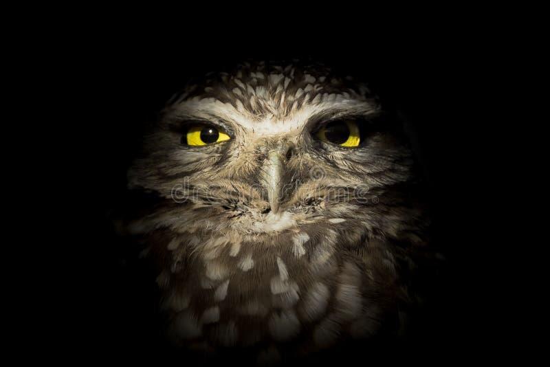 Δυτική κουκουβάγια Burrowing που κρύβεται στο σκοτάδι - κουκουβάγια νύχτας στοκ φωτογραφία