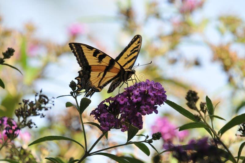Δυτική πεταλούδα rutulus Swallowtail Papilio τιγρών στην πεταλούδα Μπους στοκ εικόνες