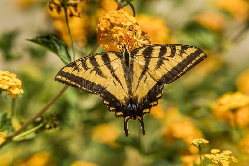 Δυτική πεταλούδα Swallowtail τιγρών στοκ φωτογραφία με δικαίωμα ελεύθερης χρήσης