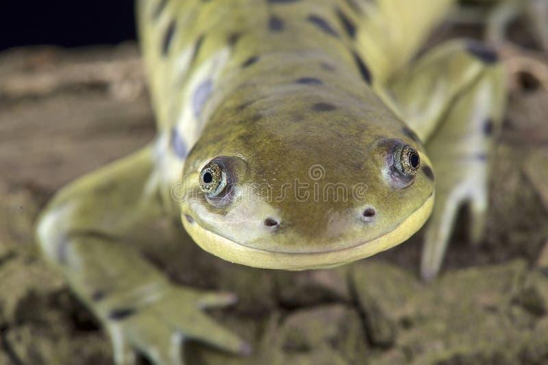 Δυτική τίγρη salamander (mavortium Ambystoma) στοκ φωτογραφία με δικαίωμα ελεύθερης χρήσης