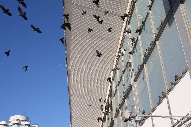Δωδεκάδες των πετώντας πουλιών στο μπλε ουρανό στοκ εικόνα