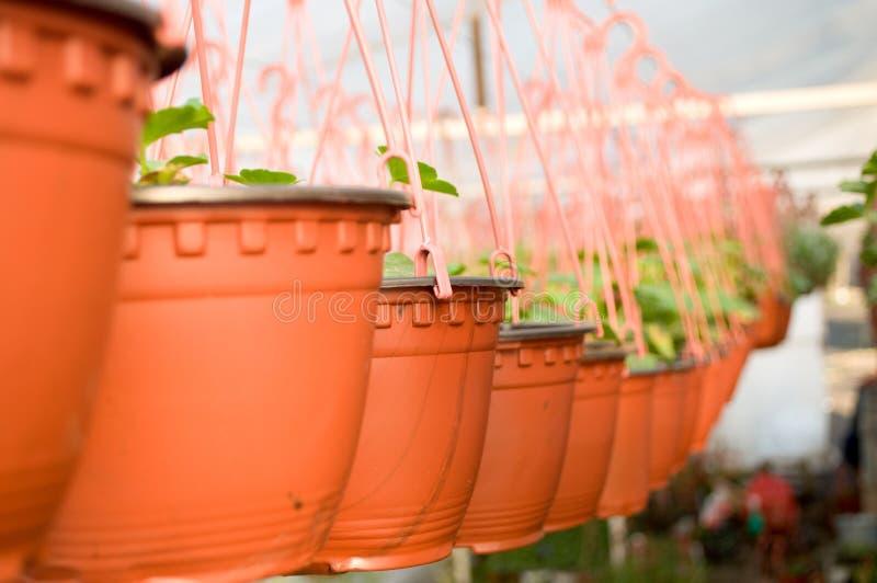 Δωδεκάδες καφετί πλαστικό flowerpot με τα λουλούδια που πρέπει να ακμάσουν ακόμα στις σειρές σε ένα ηλιόλουστο θερμοκήπιο στοκ εικόνα με δικαίωμα ελεύθερης χρήσης