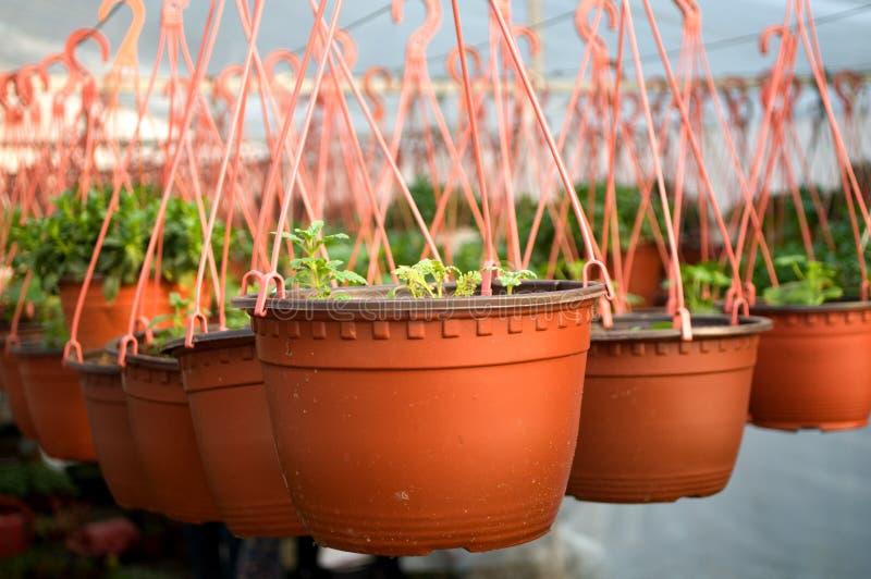 Δωδεκάδες καφετί πλαστικό flowerpot με τα λουλούδια που πρέπει να ακμάσουν ακόμα στις σειρές σε ένα ηλιόλουστο θερμοκήπιο στοκ εικόνα