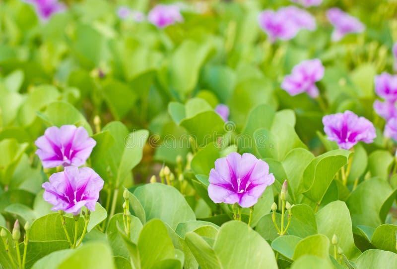 Δόξα πρωινού αναρριχητικών φυτών ή παραλιών ποδιών αίγας. στοκ εικόνα με δικαίωμα ελεύθερης χρήσης