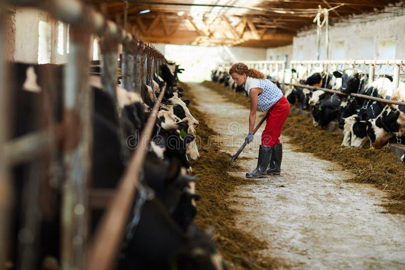 Δόσιμο του σανού στις αγελάδες στοκ φωτογραφία