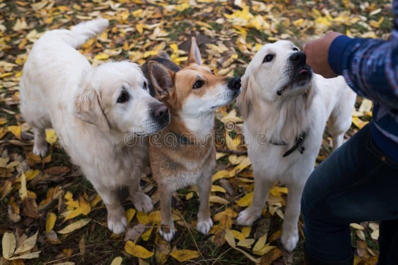 Δόσιμο χρυσών retrievers και huskies μιας απόλαυσης στοκ φωτογραφία